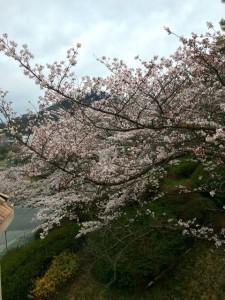 桜20160403