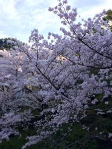 桜20160401