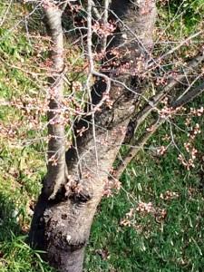 桜20160402